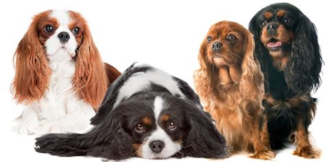 cavalier king charles spaniel colors cavalier king charles spaniel nose butter 174 for crusty or