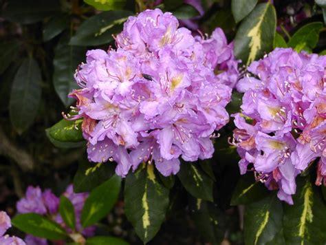rhododendron winterfest machen garten rhododendron goldflimmer rhododendron hybride