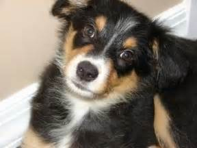 collie x australian shepherd border aussie dog breed information and pictures