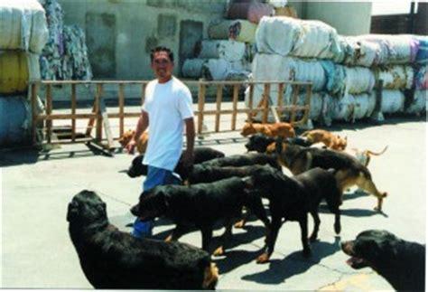 cesar rottweiler cesar millan is the leader of the pack animal fair