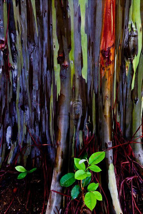 rainbow eucalyptus rainbow eucalyptus christopher martin photography