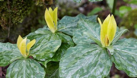 smoky mountains wildflowers yellow trillium william