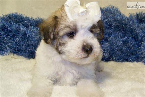 bichpoo puppies poo bichpoo puppy for sale near st louis missouri df6fd068 bbb1