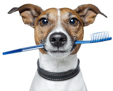 brushing puppy teeth baby pet shop veterin 225 ria desde 1999 em fortaleza