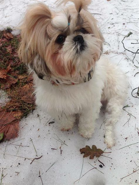 food recipe for shih tzu 1827 best images about shih tzu dogs pups on baby shih tzu and
