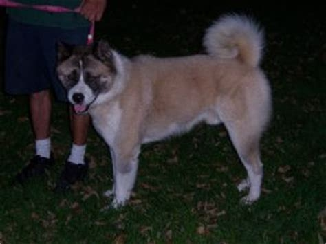 akita puppies for sale in ohio akita puppies for sale