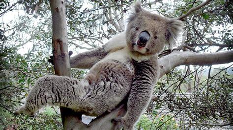 Koala Meme - image gallery stoned koala