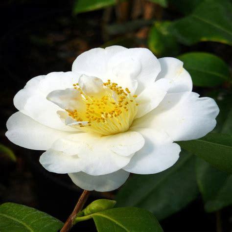 camellia silver anniversary medium size by giftaplant notonthehighstreet com