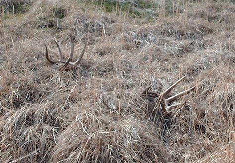 Whitetail Deer Sheds by Ted S Wyoming Whitetail Sheds Monstermuleys