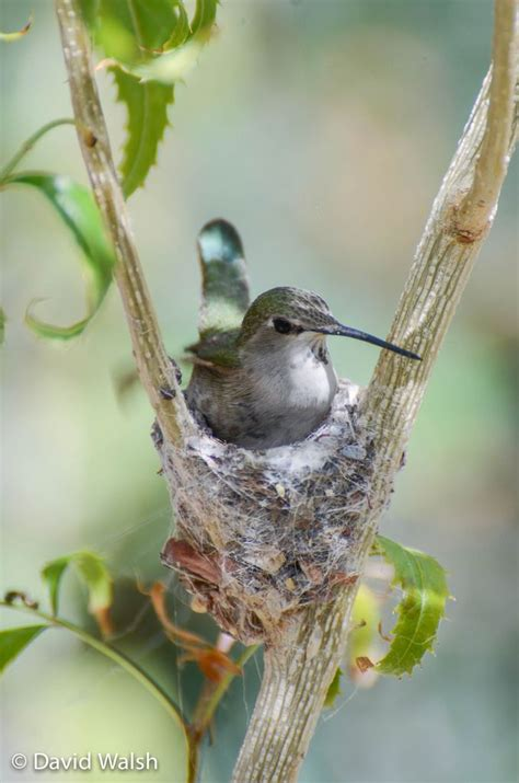 nesting hummingbird hummingbirds pinterest