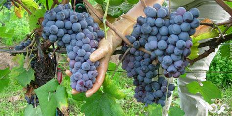 varieta di uva da tavola uva da tavola monviso
