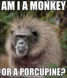 Funny Monkey Memes - funny monkeys funny google searches and memes on pinterest
