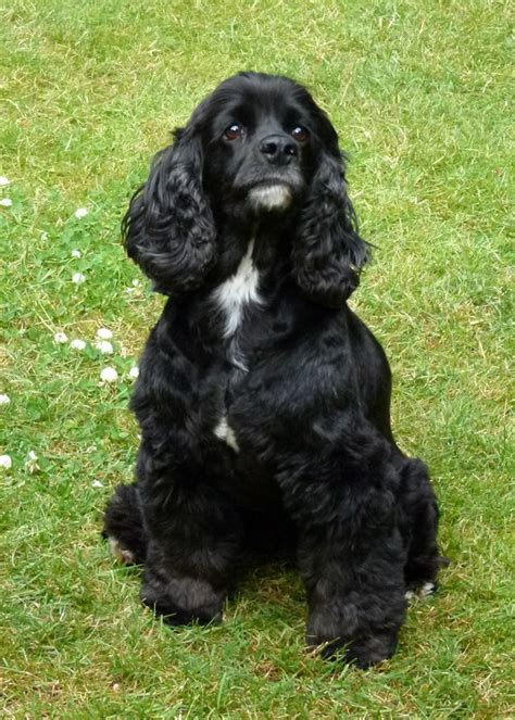 68 best images about Cocker spaniels are the best on ...