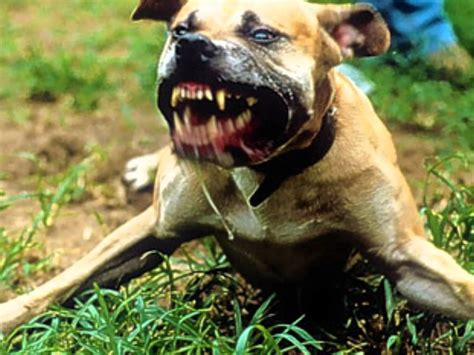 vicious dogs editorial onus now on councils to act on dangerous dogs