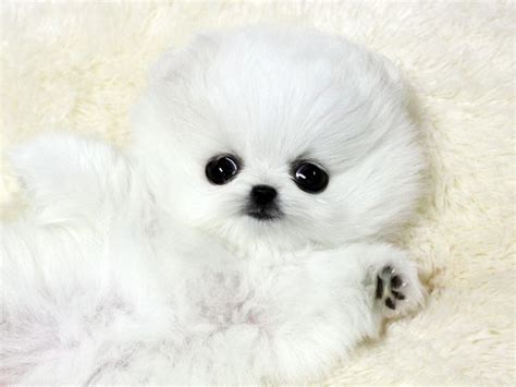 white micro teacup pomeranian puppy white teacup pomeranian teacup poms one day i will one teacup