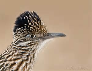 Greater roadrunner the new mexico state bird photo by doug brown