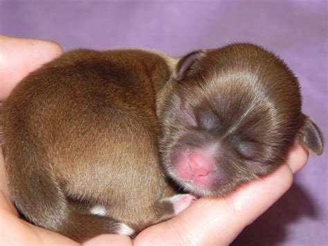 white and brown shih tzu puppies shih tzu puppies brown www pixshark images galleries with a bite