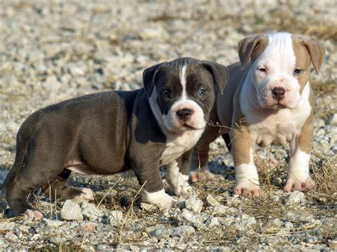 Puppies Pitbull dogs american pitbull terrier puppies