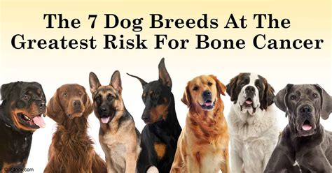 bone cancer in dogs dogs at highest risk for osteosarcoma bone cancer
