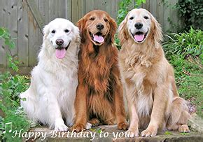 how often do golden retrievers need to be groomed empathy home animal photos greeting cards individually printed custom