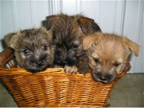 cairn terrier puppies ohio cairn terrier puppies for sale