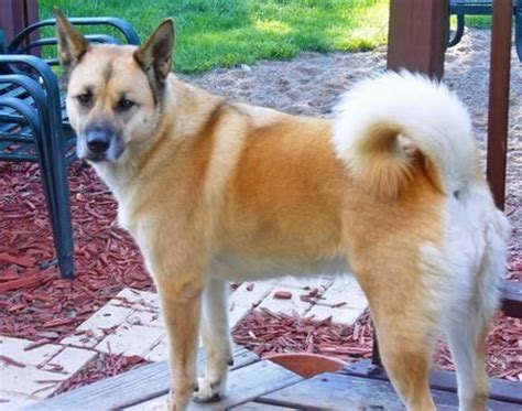 akita golden retriever 9 akita inu cross breeds you to see to believe