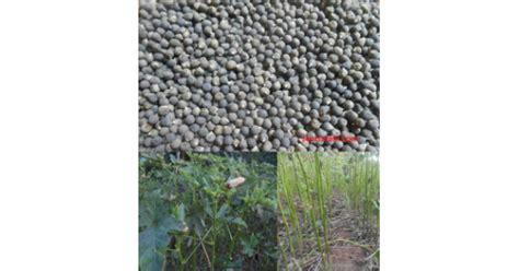 Bibit Okra Merah jual benih okra merah varietas burgundi 100 gram