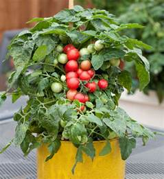 Best Windowsill Plants Sweet N Neat Cherry Tomato Bonnie Plants