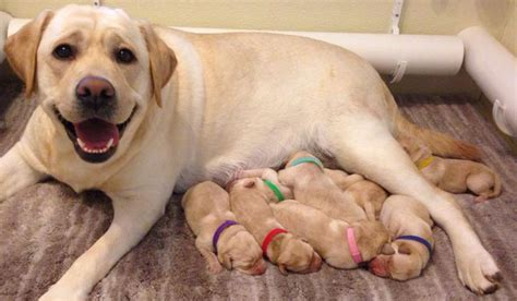 yellow lab puppies for sale in ny yellow labrador retriever puppies for sale ny labradorable labradors