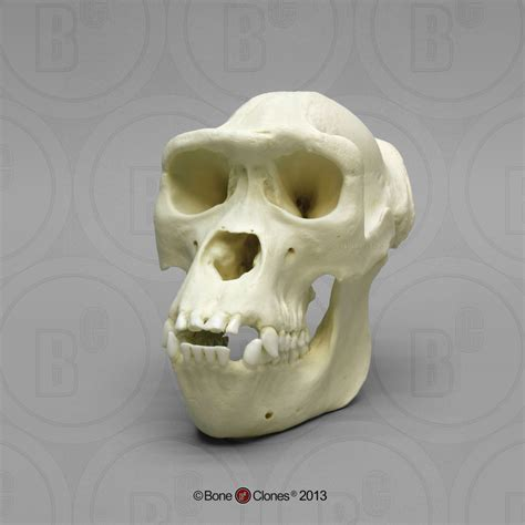 female western lowland gorilla skull bone clones