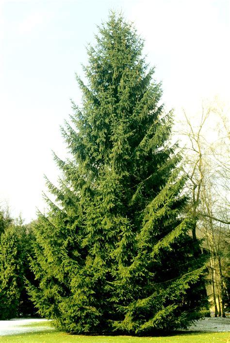Planter Sapin Nordmann by Sapin Planter Et Tailler Ooreka