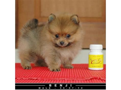 pocket pomeranian 25 best images about animals on teddy pomeranian puppys and