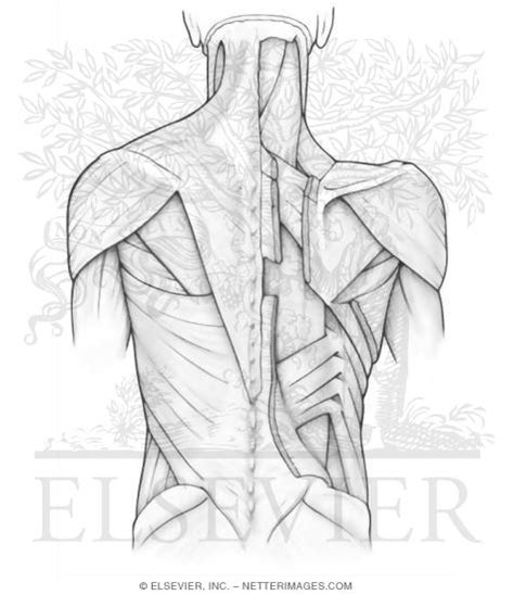 netter s anatomy coloring book pdf free superficial and intermediate back muscles