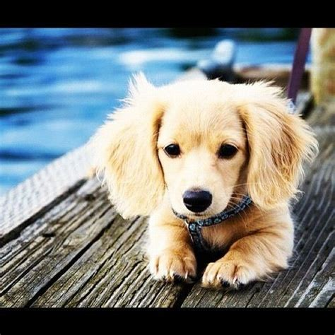 golden retriever weiner mix golden retriever dachshund mix puppy animals