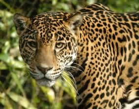 Jaguar Cat Images Graywolfconservation Big Cats Jaguars