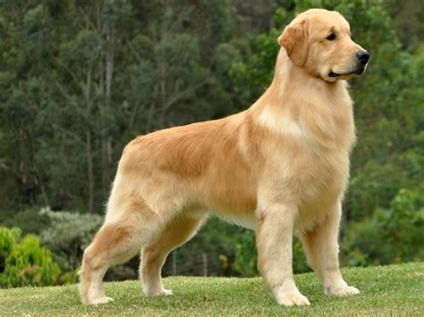 pictures of golden retriever golden retriever pictures