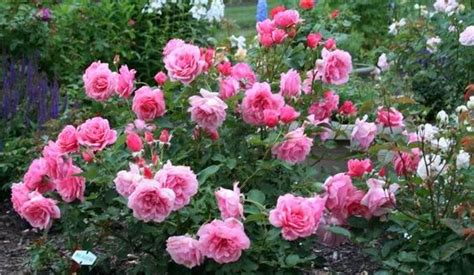 information about rose farming cultivation information guide asia farming