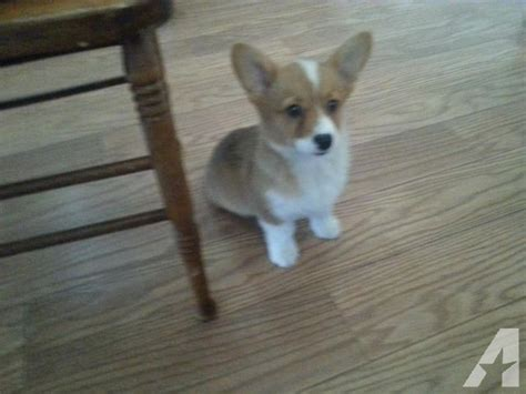 teacup corgi puppies for sale the gallery for gt smallest puppy in the world for sale