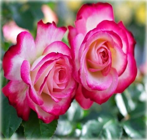 imagenes rosas grandes imagenes de rosas para fondo de pantalla grandes en hd