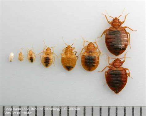 bed bugs first stage bed bug life cycle easy to understand growth chart