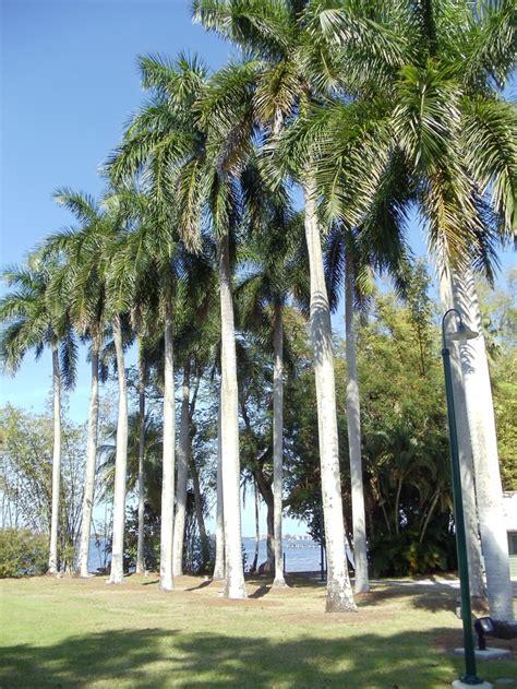 images  florida palm trees  pinterest