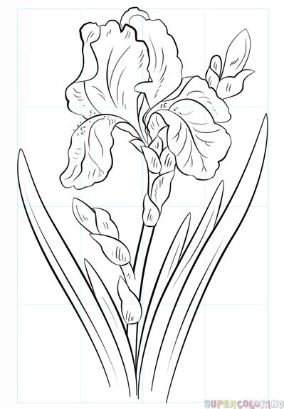 how to draw an iris flower step by step drawing tutorials