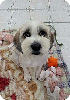 shih tzu rescue virginia fairfax va shih tzu tibetan terrier mix meet achu a
