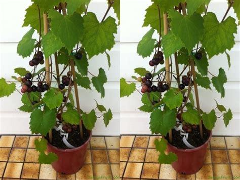 jenis tanaman buah  bisa ditanam  pot kecil
