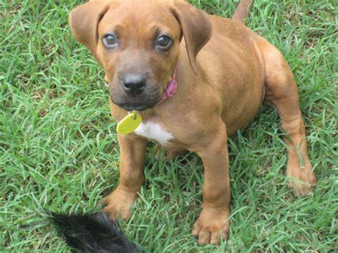 redbone puppies redbone coonhound puppy rachael edwards