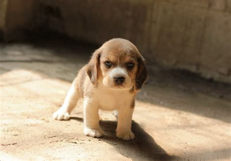 baby beagle puppies beagle baby breeds picture