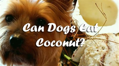 can dogs eat coconut can dogs eat coconut pet consider