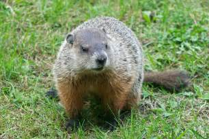 How To Get Rid Of A Groundhog In My Backyard Groundhog