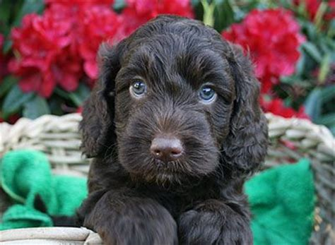 black labradoodle puppies for sale omg black labradoodle puppies hypoallergenic puppies for sale in portland pacific