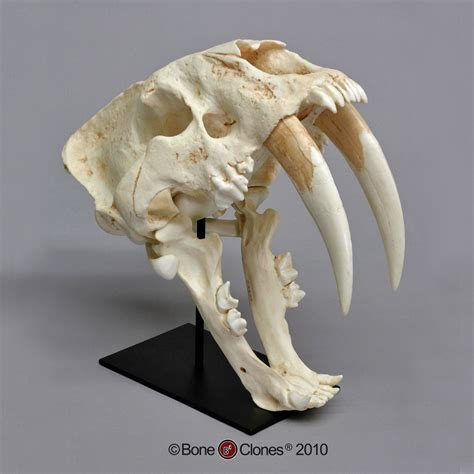 sabre tooth tiger skull for sale bone clones 174 south american sabertooth cat skull